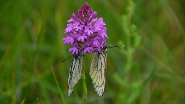 Anacamptis pyramadalis and black veined white butterfly